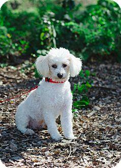 Edmonton Ab Miniature Poodle Meet Twinkie A Pet For