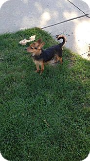 Terrier (Unknown Type, Small) Mix Dog for adoption in Speedway, Indiana - Dundee