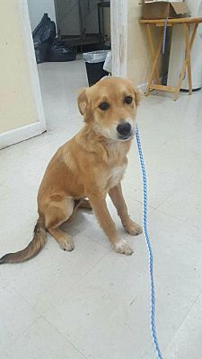 Cincinnati Oh Golden Retriever Meet Tuck A Dog For Adoption