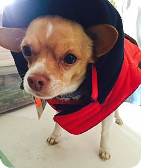 Chihuahua Mix Dog for adoption in Beavercreek, Ohio - Banjo
