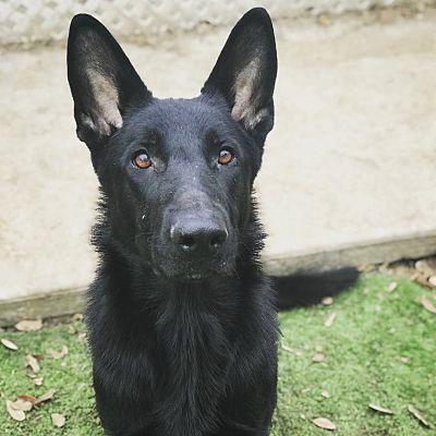 San Antonio Tx German Shepherd Dog Meet Shay A Pet For Adoption