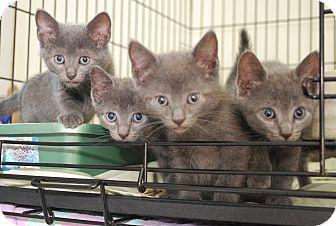 Russian Blue Kitten for adoption in Trevose, Pennsylvania - Russian Blue Litter