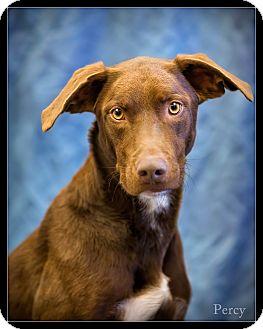Labrador Retriever Mix Dog for adoption in Wickenburg, Arizona - Percy