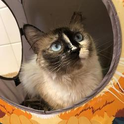 Siamese Kittens For Sale In New Mexico Adoptapet Com