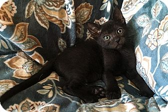 Domestic Shorthair Kitten for adoption in Tampa, Florida - Emerald
