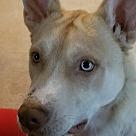 Adopt A Pet :: Bowie