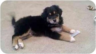 Howell Mi Bernese Mountain Dog Meet Cade A Pet For Adoption