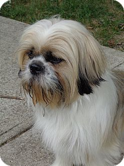 Lhasa Apso Meet Brady A Pet