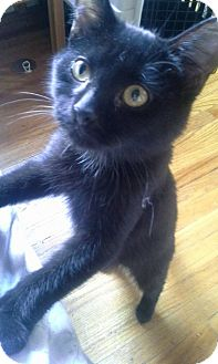 Domestic Shorthair Kitten for adoption in THORNHILL, Ontario - LUNA