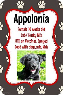 Labrador Retriever/Husky Mix Puppy for adoption in New Haven, Connecticut - Appolonia