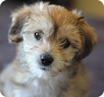 San Pedro Ca Shih Tzu Meet Ju Ju A Pet For Adoption