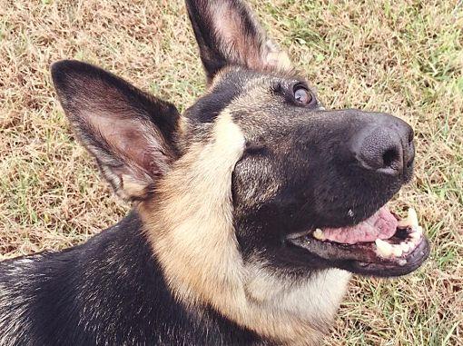 Prospect Ky German Shepherd Dog Meet Cello A Pet For Adoption