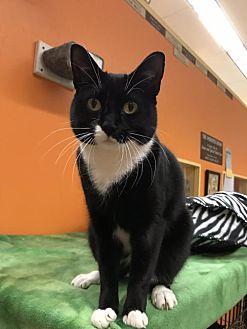 Adopt A Pet :: Miss Boots  - Blasdell, NY