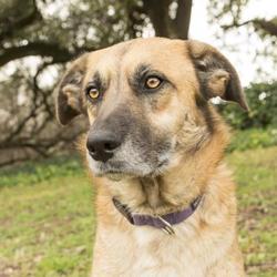 German Shepherd Dog Puppies In Waco
