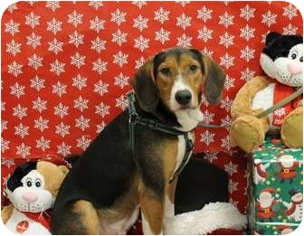 Hound (Unknown Type)/Beagle Mix Dog for adoption in Orland Park, Illinois - Auggie