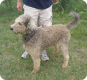 W Warwick Ri Old English Sheepdog Meet Benton A Pet For