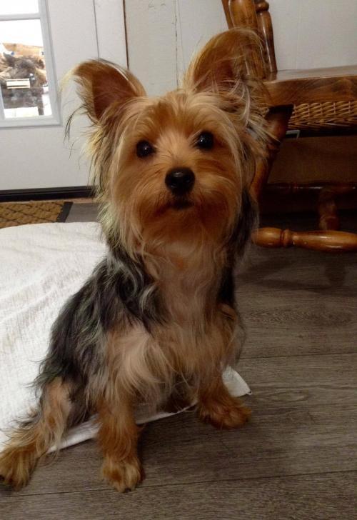 Buffalo, NY - Yorkie, Yorkshire Terrier  Meet Sylvia a Pet for Adoption
