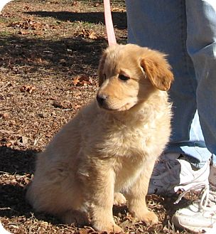 Plainfield Ct Golden Retriever Meet Kaci A Pet For Adoption