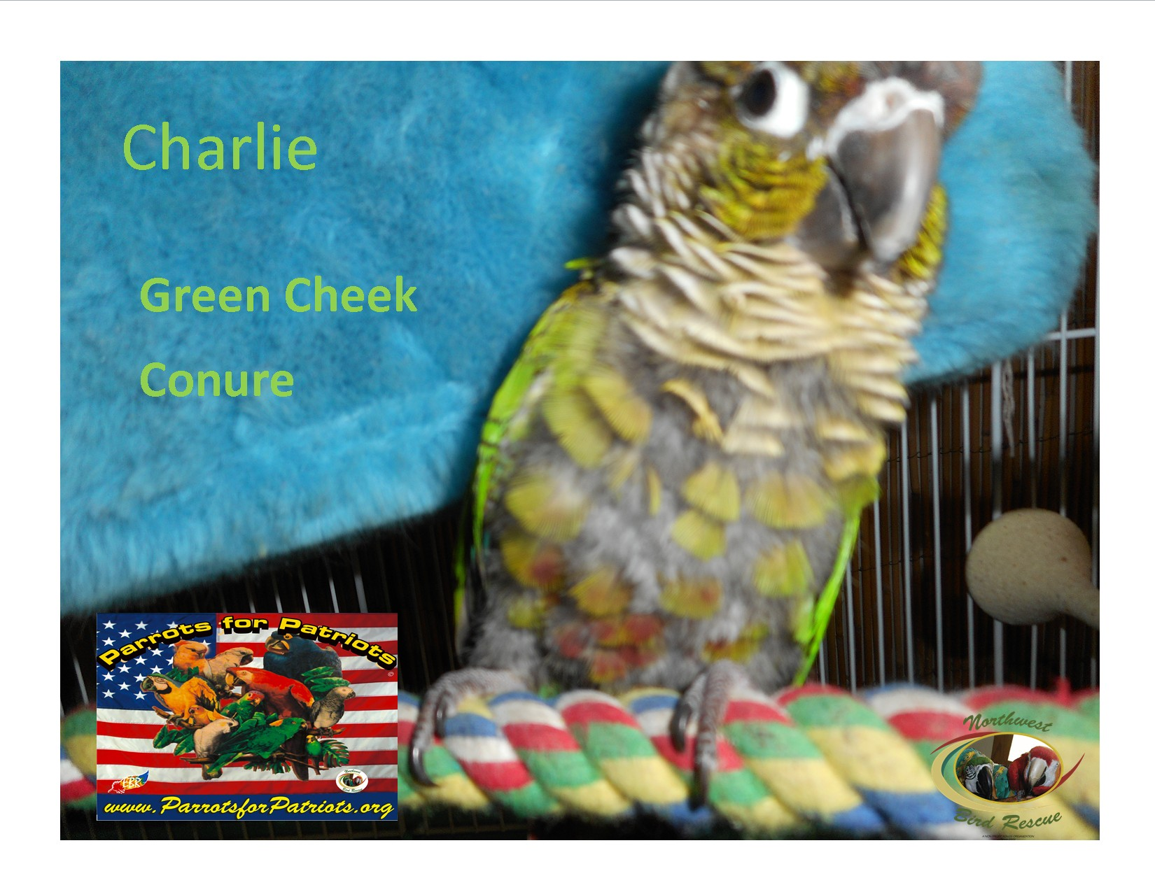 Vancouver, WA - Conure  Meet Charlie The Green Cheek Conure a Pet