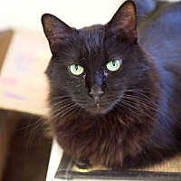 Domestic Mediumhair Cat for adoption in North Hollywood, California - Art