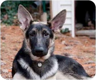 German Shepherd Dog Dog for adoption in Wayland, Massachusetts - Hayden