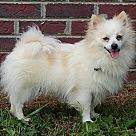 Adopt A Pet :: Precious Pea (7 lb) PERFECT