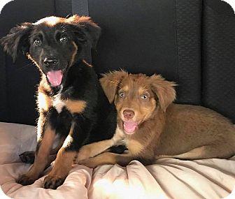 Shepherd (Unknown Type) Mix Puppy for adoption in Brooklyn, New York - Mocha