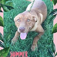Adopt A Pet :: Stella - Normal, IL