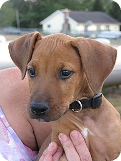 Indianapolis In Redbone Coonhound Meet Spike A Pet For Adoption
