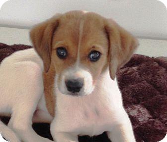 Kalamazoo Mi Labrador Retriever Meet Scout Lynn A Pet For