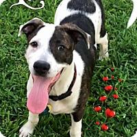 Adopt A Pet :: Lilo - Irving, TX