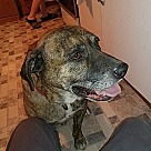 Adopt A Pet :: Bruno Boxer