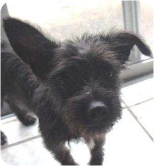 Homestead Fl Cairn Terrier Meet Xena A Pet For Adoption