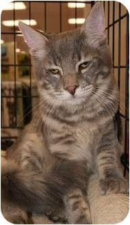 Domestic Mediumhair Cat for adoption in San Ramon, California - Max