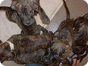 Litchfield Park Az Cane Corso Meet Litter Of Puppies Only 85