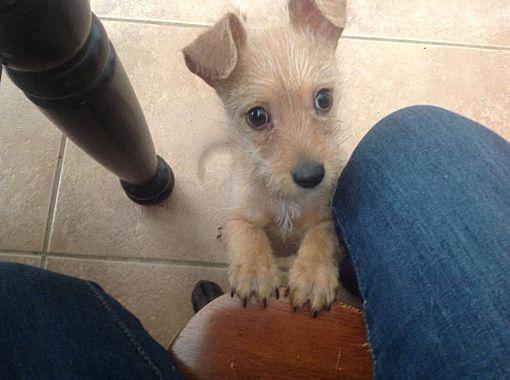Dallas Tx Wirehaired Fox Terrier