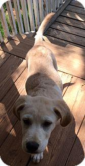 Great Pyrenees/Labrador Retriever Mix Puppy for adoption in Ball Ground, Georgia - Chipa