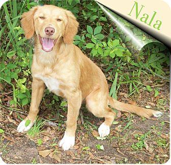 Ozark, AL - Labrador Retriever  Meet Nala a Pet for Adoption