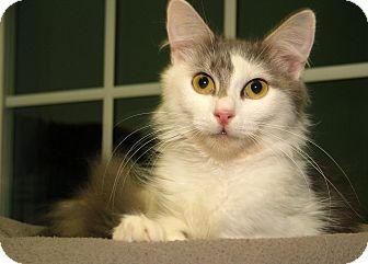 Domestic Longhair Cat for adoption in Milford, Massachusetts - Sophia