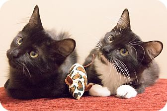 Domestic Mediumhair Kitten for adoption in Chicago, Illinois - Jem and Scout
