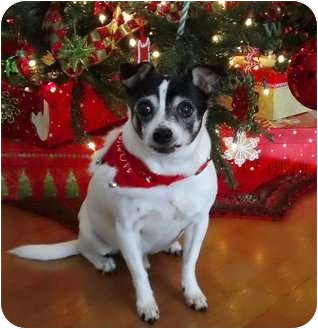 Rat Terrier Mix Dog for adoption in Jacksonville, Florida - Woody