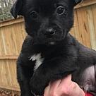 Adopt A Pet :: Baby Schroeder