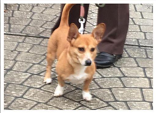 Naperville, IL - Corgi  Meet Bella a Pet for Adoption