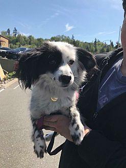 Adopt A Pet :: Sky  - Renton, WA