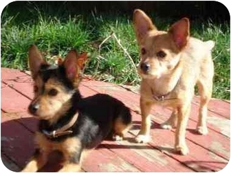 Petaluma Ca Yorkie Yorkshire Terrier Meet Laya And Luke A Pet