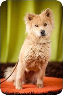 Chow Chow/Golden Retriever Mix Dog for adoption in Portland, Oregon - Nessie