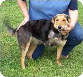 Sheltie, Shetland Sheepdog Mix Dog for adoption in Foster, Rhode Island - Hope (REDUCED FEE)