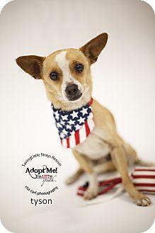 Beagle/Chihuahua Mix Dog for adoption in Aqua Dulce, California - Tayson