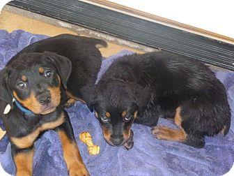 Mcallen Tx Rottweiler Meet Rottweiler Puppies A Pet For Adoption