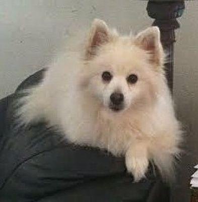 Minnetonka Mn American Eskimo Dog Meet Sydney A Pet For Adoption